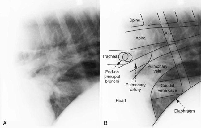 the equine thorax veterian key