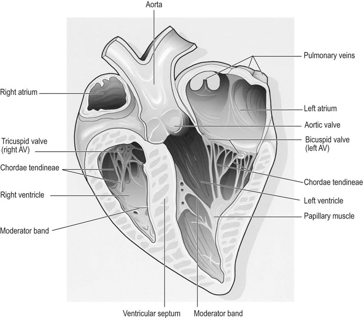 Heart and vessels function during exercise and training adaptations fig 3111 cross section of the equine heart showing principal anatomic structures av atrioventricular valve see fig 3112 ccuart Images