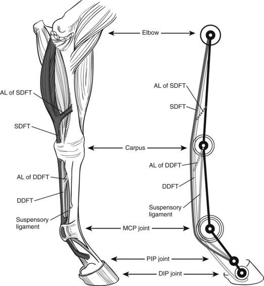 The Biomechanics of the Equine Limb and Its Effect on Lameness ...