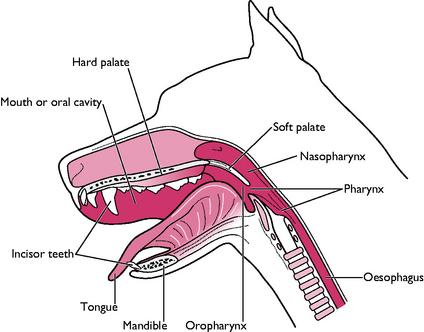 dog pharynx diagram wiring diagrams Larynx Diagram dog pharynx diagram simple wiring diagram dog face diagram dog nasal diagram simple wiring diagram frog