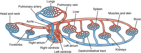 The cardiovascular system anatomy physiology and adaptations to figure 11 2 the cardiovascular system illustrating the blood flow to and from the main body systems ccuart Images