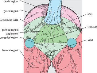 8 4 surface features and topographical regions of the pelvis and genitalia  of the bitch: caudal view  the perineal region of the bitch is shown with  the