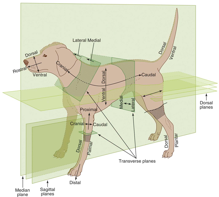 Canine Anatomy Veterian Key