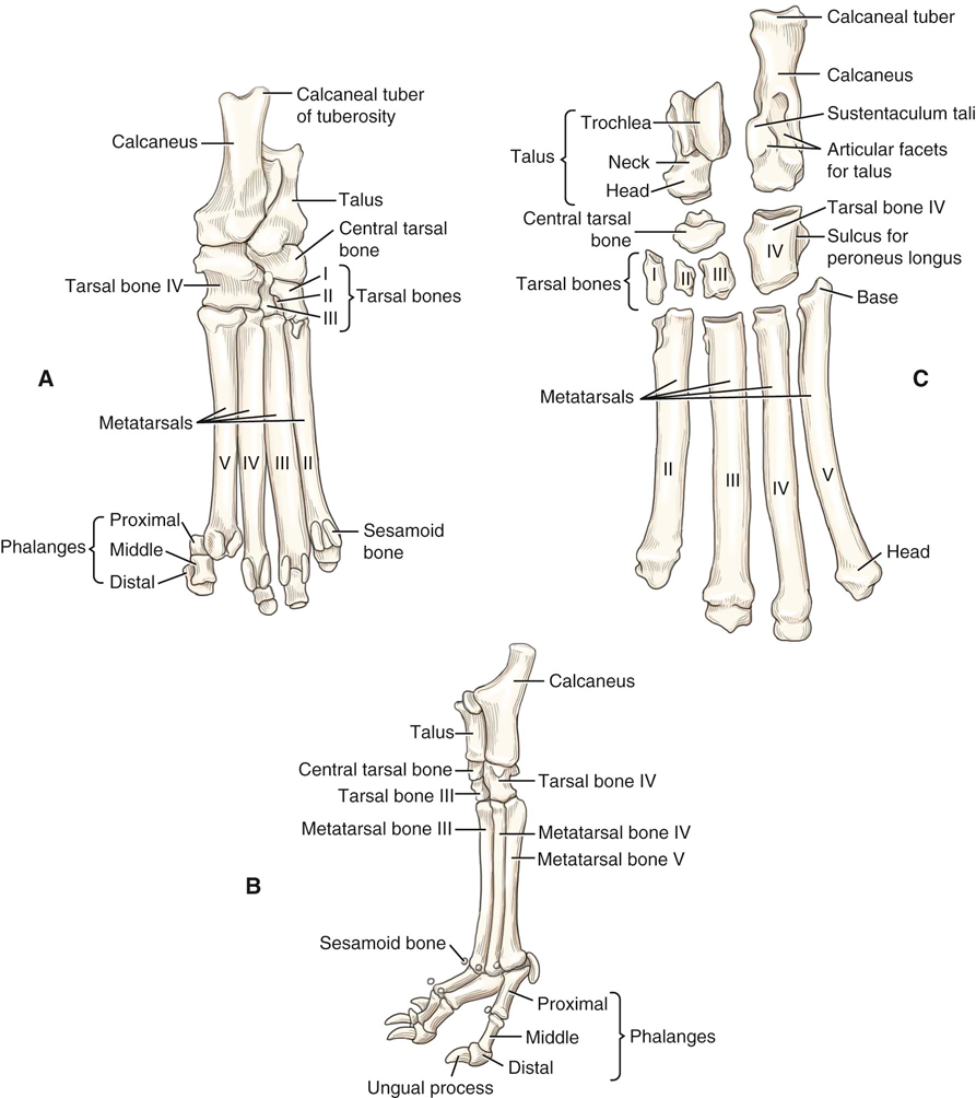 Dog forelimb anatomy