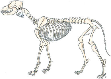 Canine anatomy veterian key figure 5 2 skeleton of a male dog left lateral view from evans he millers anatomy of the dog ed 4 philadelphia 2013 wb saunders ccuart Choice Image