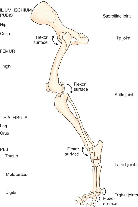 Anatomy of dog hind leg