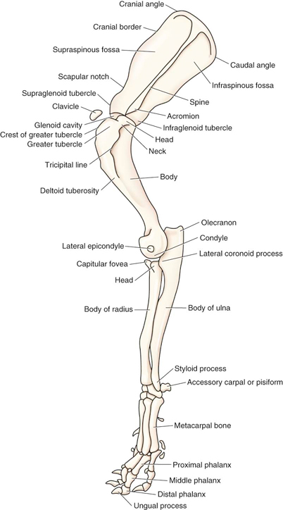 Canine Leg Anatomy 3873541 Follow4morefo