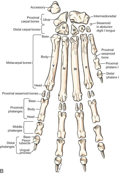 dog paw bones anatomy