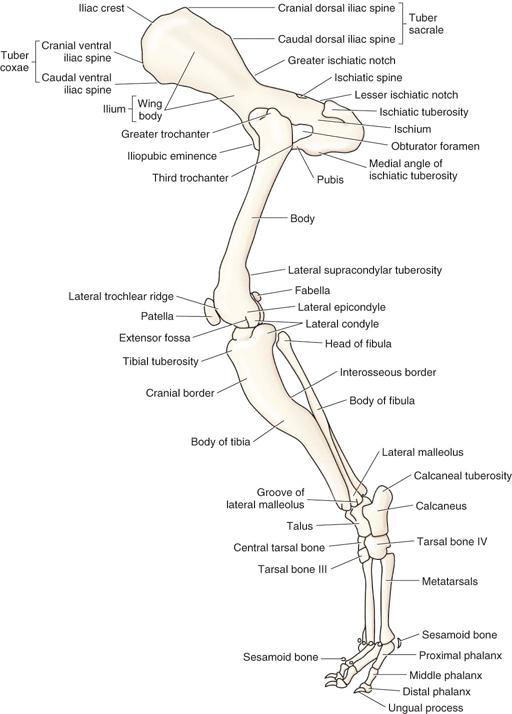 Canine forelimb anatomy