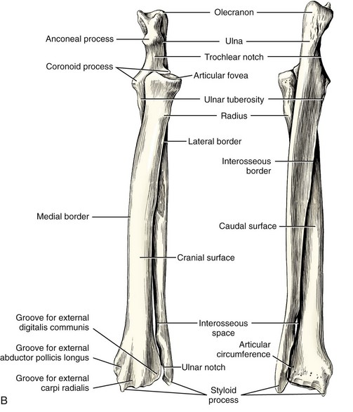 Radius and Ulna | Veterian Key Ulna Bone