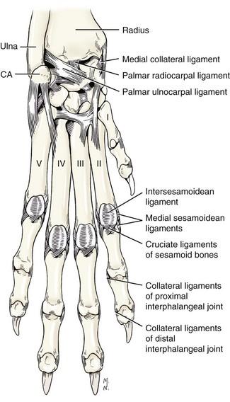 canine carpal bones diagram