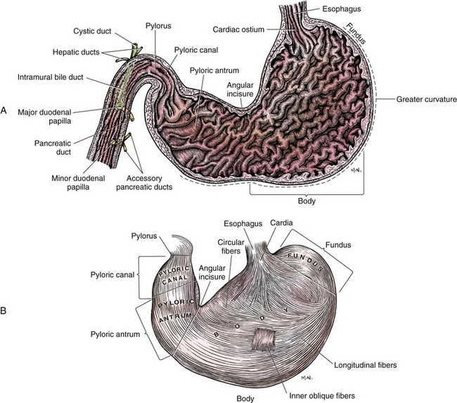 Dog stomach anatomy