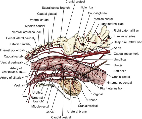 Rectum anus and perineum veterian key from evans he de lahunta a millers anatomy of the dog ed 4 st louis 2013 saunderselsevier ccuart Choice Image