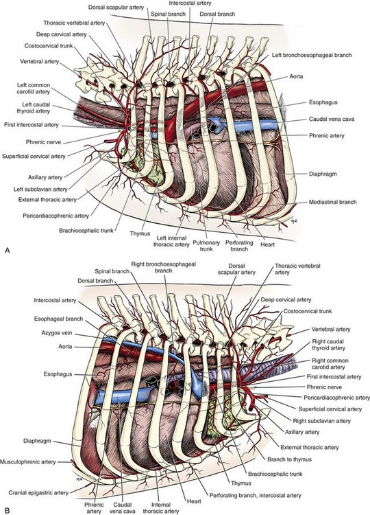 Abdominal Anatomy 55742539 as well Anatomical Spaces Of The Pelvic Cavity moreover The Respiratory System together with Thoracic Wall further 15154516. on ventral cavity