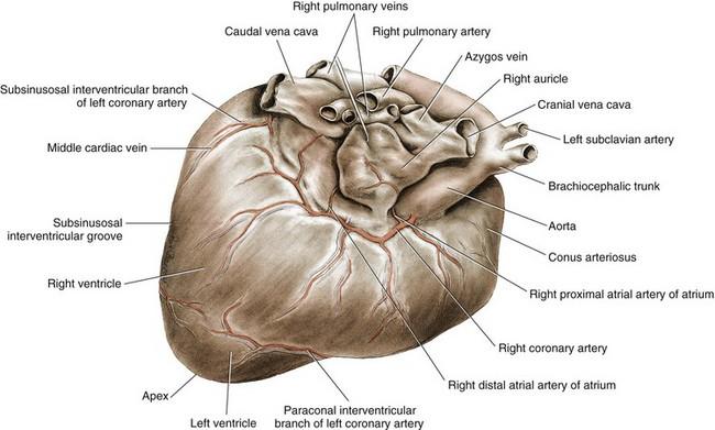 Cardiac Surgery   Veterian Key