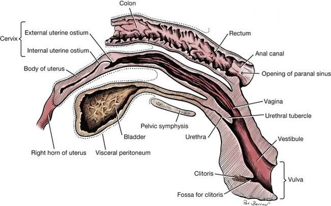 Vagina Vestibule And Vulva Veterian Key