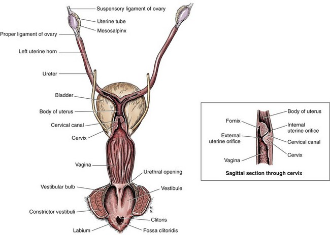 Vagina, Vestibule, and Vulva | Veterian Key