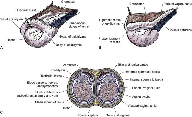 testes and scrotum | veterian key diagram of a scrotum
