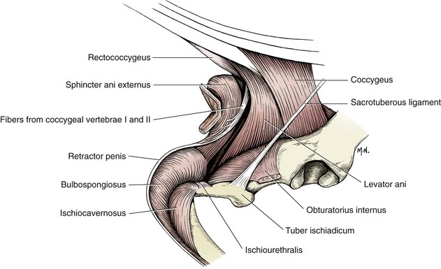Muscles Of Penis 114