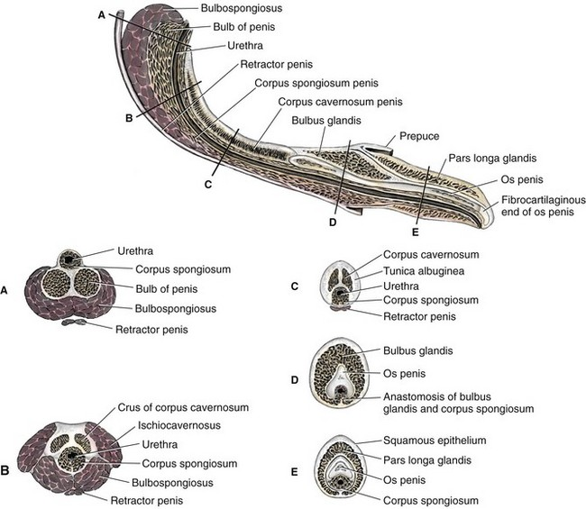 Figure 112-3 Internal morphology of the penis. Top, A parasagittal section.  Bottom, Cross-sections made at five levels indicated by corresponding  letters on ...