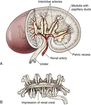 Kidneys Veterian Key