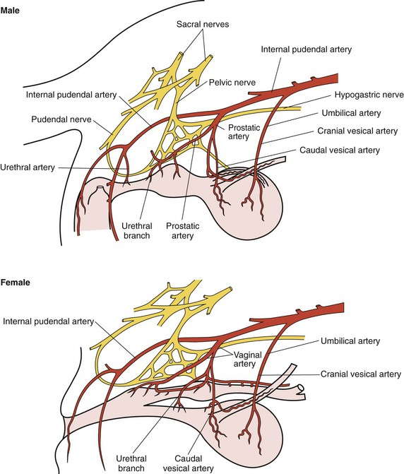 Figure 117-2 Innervation and blood supply to the urethra of male and female  dogs. (From Fossum TW (ed): Small animal surgery, ed 3, St Louis, 2007, ...