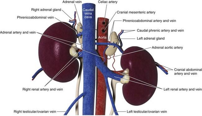 Adrenal Glands | Veterian Key