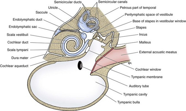 Anatomy of a dogs ear