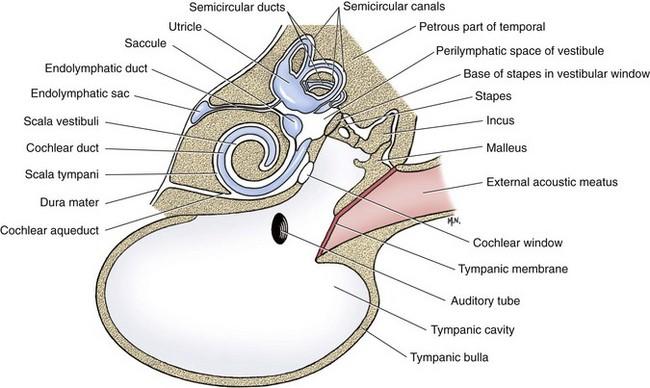 Middle And Inner Ear Veterian Key