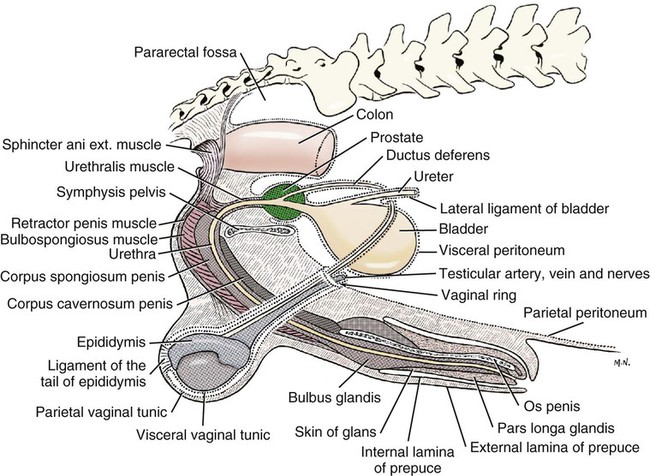 Articulations Of Thevertebralcolumnandribs besides Abdominal Epigastric Region Pain After Eating in addition Sinus Conditions additionally Cat Forelimb Muscles Diagram additionally Ossos Cranio Equino. on dorsal ventral dog