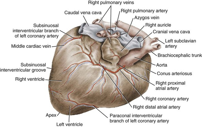 Comparison of Pigs Heart And Human Heart  Difference Between