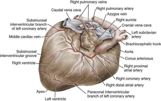 the heart and arteries veterian key