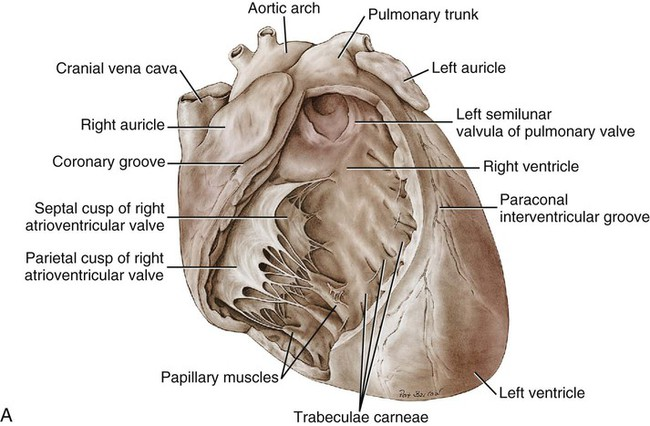 The Heart And Arteries Veterian Key