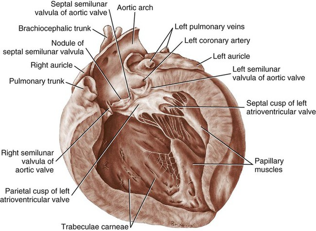 The Heart and Arteries | Veterian Key