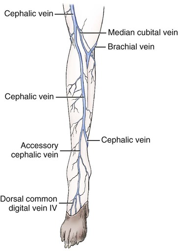 veins | veterian key, Cephalic Vein