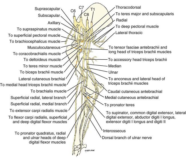Spinal Nerves Veterian Key