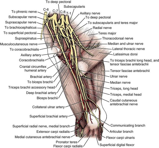 Canine Brachial Plexus Nerve Anatomy Diagrams - Wiring Library •