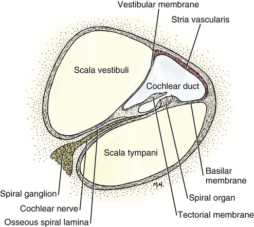 the ear   veterian key a diagram of a cochlea spiral organ region of #13