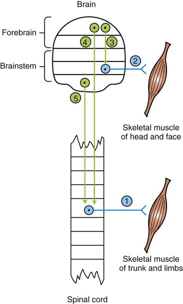 The concept of lower and upper motor neurons and their What is lower motor neuron disease
