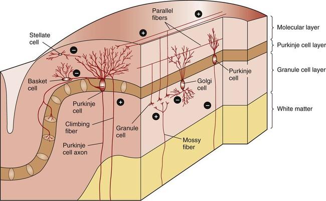 The Cerebellum   Veterian Key
