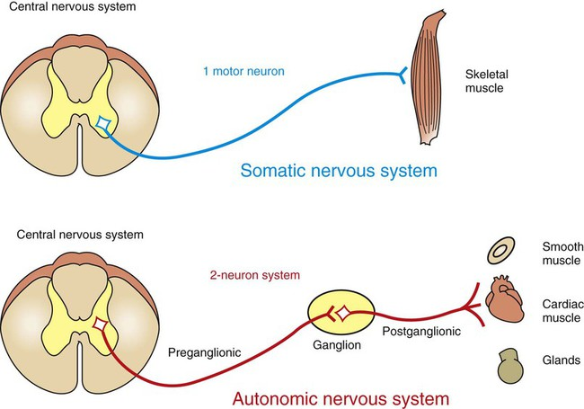 The autonomic nervous system veterian key figure 13 1 the autonomic nervous system ans differs from the somatic motor system in the number of neurons that it has in the peripheral nervous system ccuart Image collections