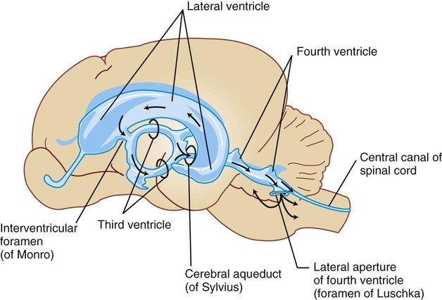 Cerebrospinal fluid and the blood brain barrier veterian key figure 15 2 lateral view of the ventricular cavities and their approximate spatial position within the brain arrows represent the flow of cerebrospinal ccuart Choice Image