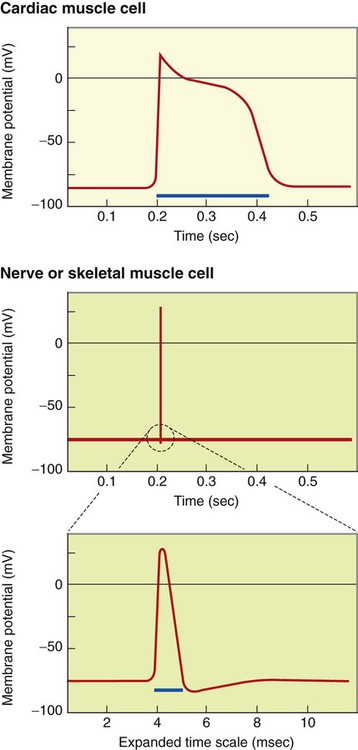 Electrical activity of the heart veterian key figure 19 4 action potentials in cardiac muscle cells top last 100 times longer than action potentials in nerve or skeletal muscle cells middle ccuart Image collections