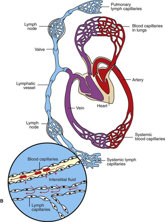 Capillaries And Fluid Exchange Veterian Key