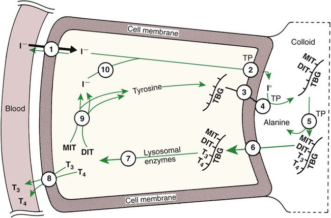 Endocrine Glands And Their Function Veterian Key
