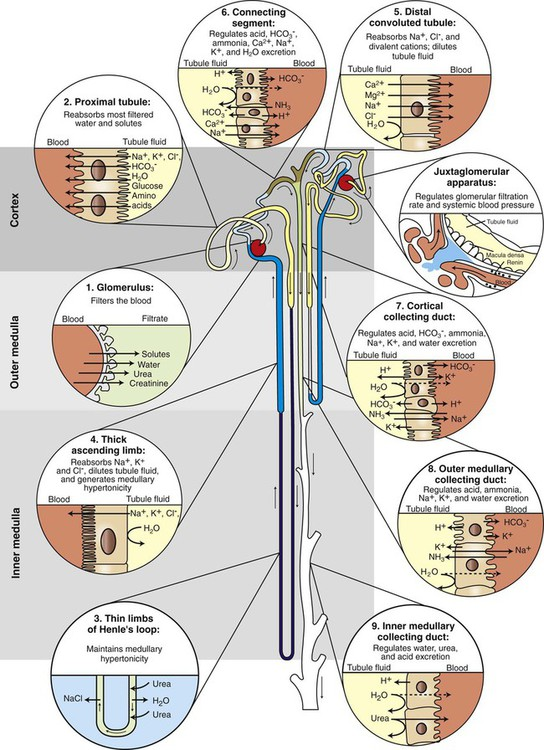 Glomerular filtration veterian key figure 41 1 schematic illustration of juxtamedullary and superficial nephrons listing functions of the segments of nephron and collecting duct ccuart Images
