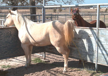 Signs of mare in heat