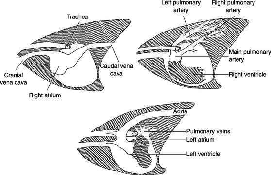 Cardiovascular Radiography   Veterian Key