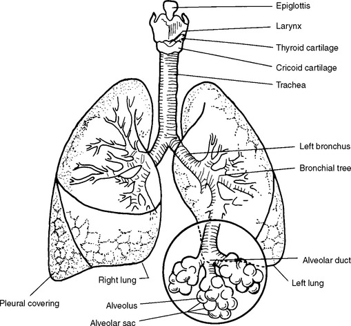 diagram of lungs and