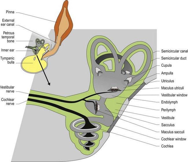 Vestibular system | Veterian Key